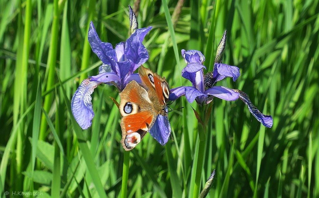 Iris mit feschem Besucher