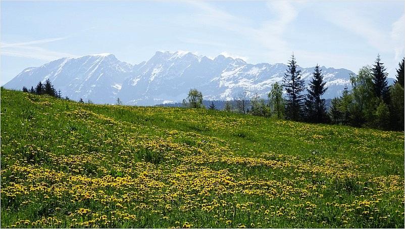 Löwenzahnwiese vor schneebedecktem Grimming