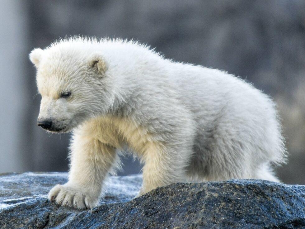13. Februar 2020: Pralle 14 Kilo, blütenweißes Fell, noch ein wenig tapsig und wasserscheu - so hat sich am Donnerstag das Eisbärenjunge im Tiergarten Schönbrunn in Wien erstmals im Freien präsentiert.