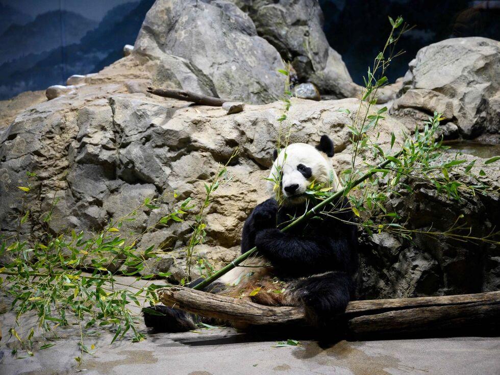 15. November 2019: Der Panda Bei Bei frisst genüsslich an seinem Bambus im Zoo in Washington DC.