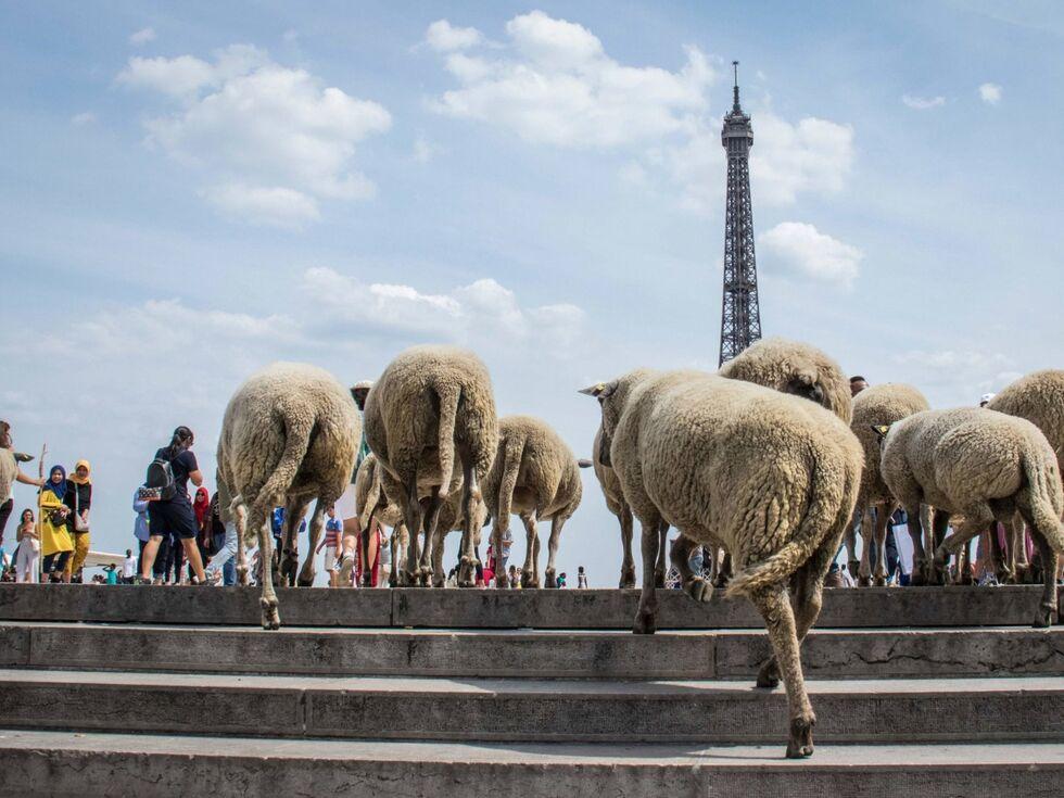 """18. Juli 2019 – Schafe vor dem Eiffelturm? Ja! Die Genossenschaft """"die städtischen Schäfer"""" führt regelmäÃ?ig ihre Schafe durch die Häuserschluchten der französischen Hauptstadt Paris."""