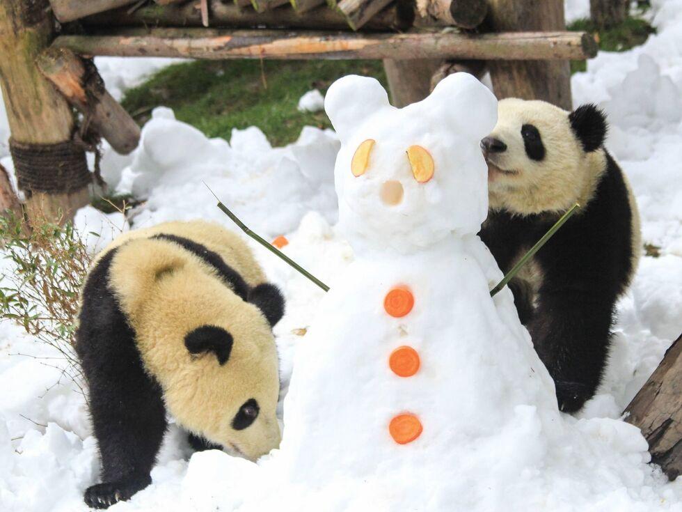 26. Dezember 2019: Diese beiden Pandabären im chinesischen Chengdu haben Spaß im Schnee. Dort befindet sich die Research Base of Giant Panda Breeding.