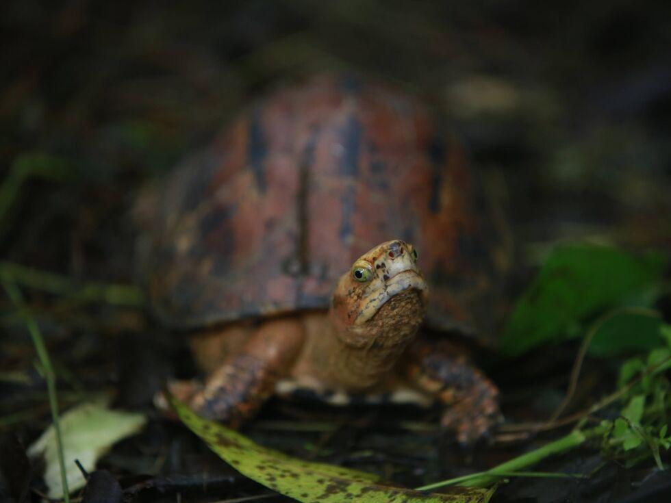 27. August 2019 – Schön aber selten: Diese vom Aussterben bedrohte Dosenschildkröte hat im vietnamesischen Cuc Phuong Nationalpark ihr Zuhause gefunden. Vor Wilderern muss sie sich trotzdem in Acht nehmen.