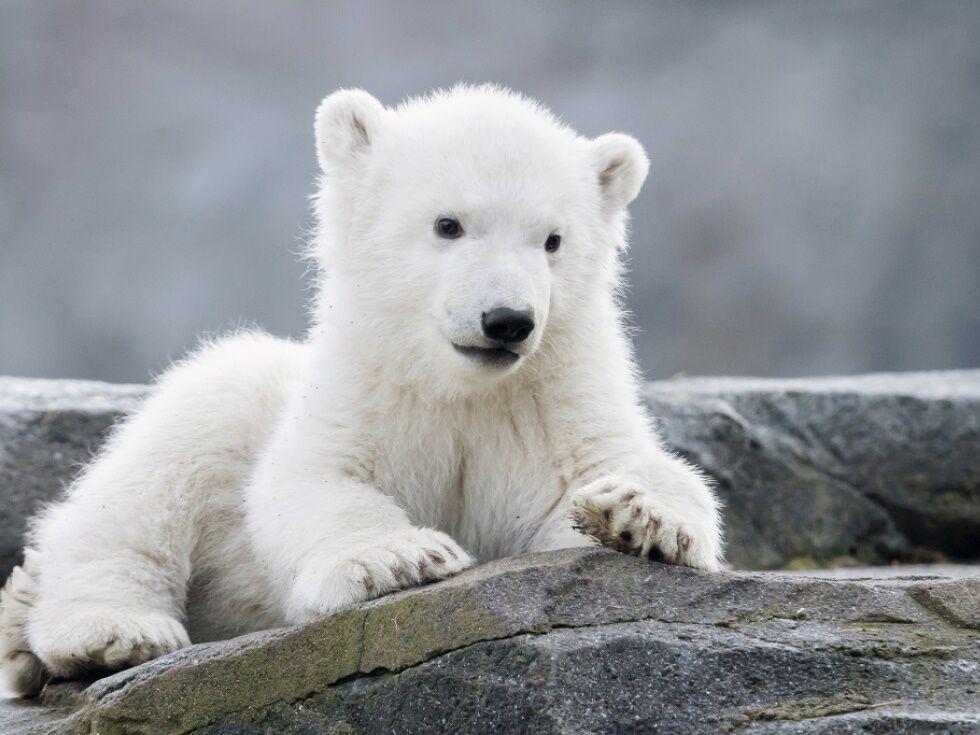 """27. Februar 2020: Die Weiße und die Schöne - das Eisbärenmädchen aus dem Tiergarten Schönbrunn hat nun einen Namen: Finja. Namensvorschläge wurden weltweit eingeholt. Die Bezeichnung für """"Die Weiße und die Schöne"""" hat sich durchgesetzt - und wenn man das Foto ansieht, kann man nur sagen: Nomen est omen."""