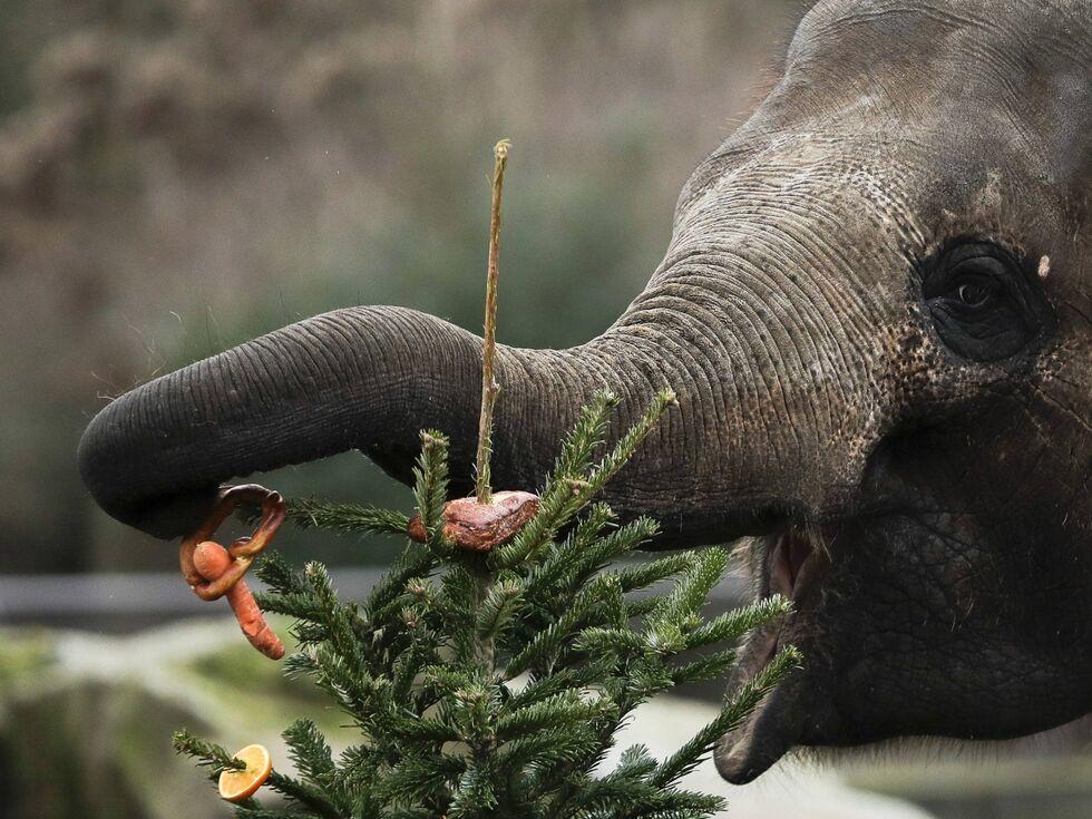 3. Jänner 2019: Ein Elefant lässt sich Brot und Früchte von einem Christbaum schmecken.