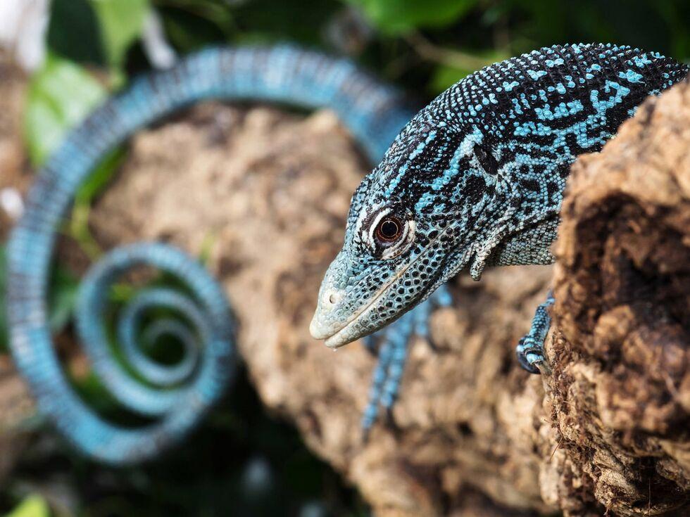 """6. Februar 2020: Sie sehen aus wie kleine türkisblaue Drachen und werden aufgrund ihrer auffälligen Färbung oft als """"Juwel des Dschungels"""" bezeichnet. Im Tiergarten Schönbrunn gibt es nun erstmals Blaue Baumwarane."""