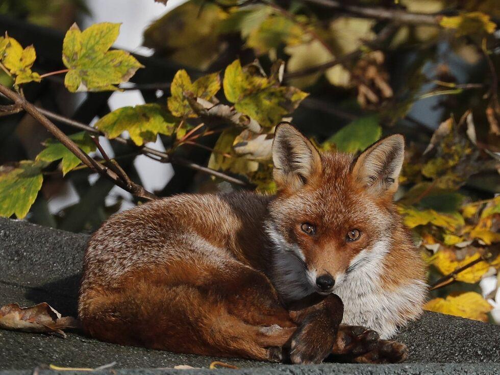6. November 2019: Ein Fuchs sonnt sich auf einem Dach in einem Londoner Garten in der Herbstsonne.