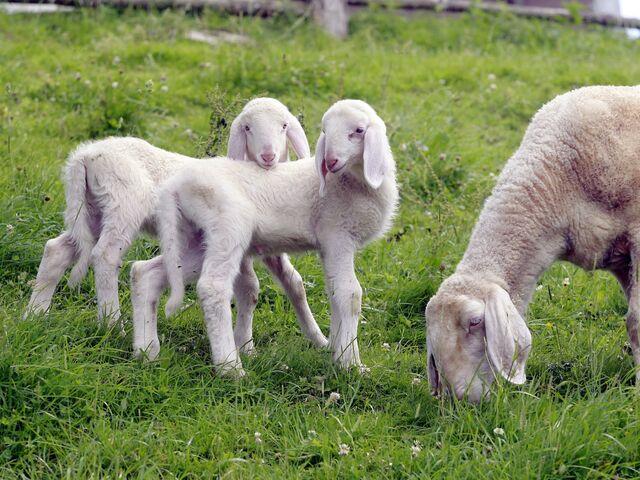 Das große Fest der Schafe und Lämmer