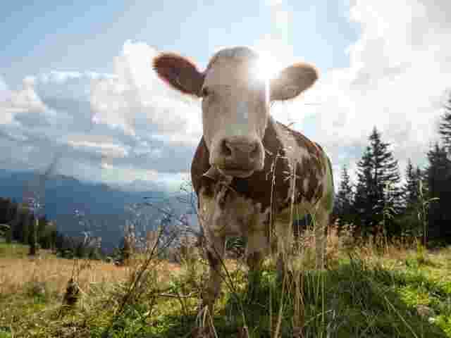 Urteil nach tödlicher Kuh-Attacke - Schadenersatz für Hinterbliebene