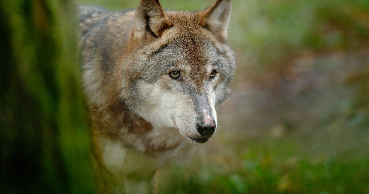 Gutachten: Schutz für den Wolf soll in Salzburg ein Ende haben