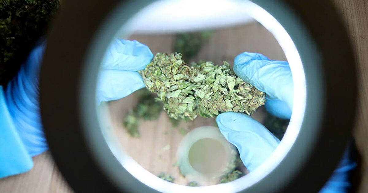 cannabis-debatte-hanf-boom-treibt-weiter-bl-ten