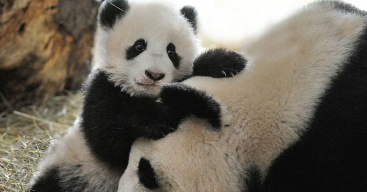 Pandababy fu bao wird ein halbes jahr alt sn at