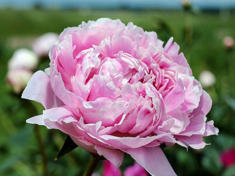 pflege von rosen pflege von rosen with pflege von rosen feuchte rosenblten und knospen with. Black Bedroom Furniture Sets. Home Design Ideas