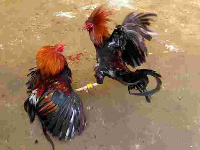 Hahnenkämpfe