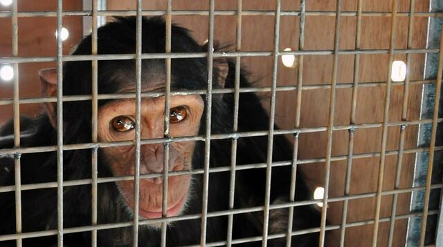 Rauchender Affe Aus Privatem Tierpark Im Irak Befreit Sn At