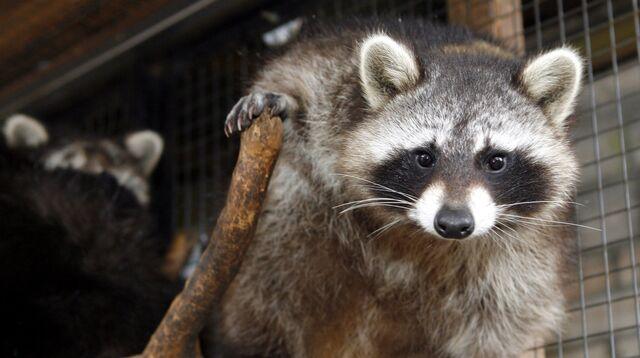 1c4cd1955d7835 Russischer Waschbär in erotischem Werbe-Dreh  Zoo verklagt PR-Firma ...