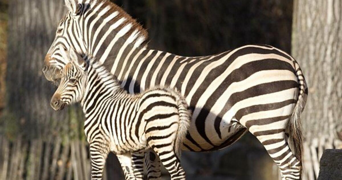 warum haben zebras streifen forscher l sen r tsel. Black Bedroom Furniture Sets. Home Design Ideas