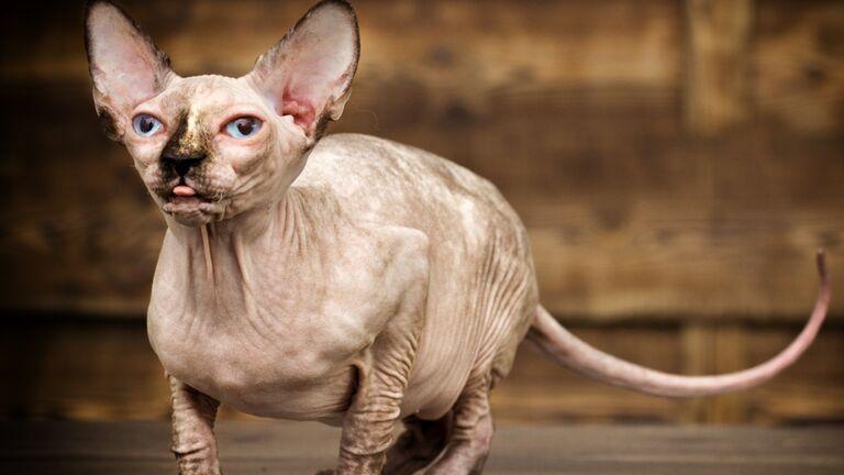 sphynx katze kaufen österreich