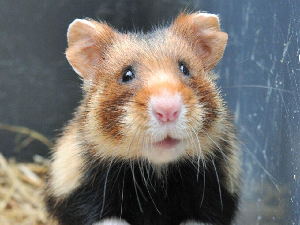 Wie gut Hamster hamstern