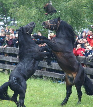 Noriker Pferd Salzburgwiki