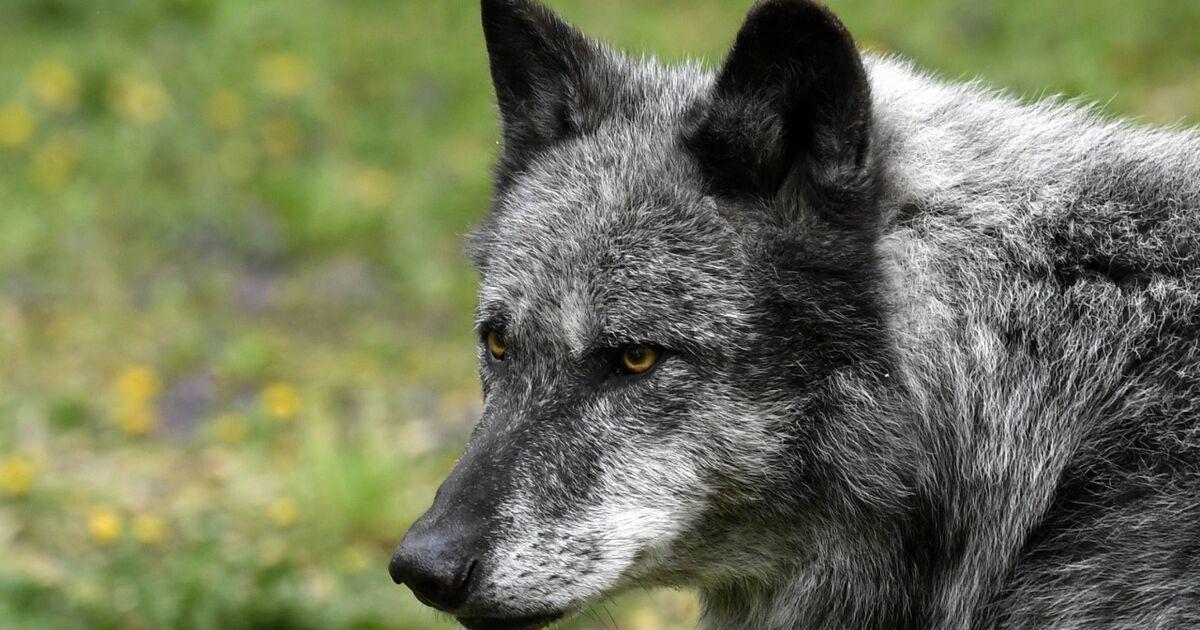 WWF kritisiert geplanten Wolfsabschuss in Salzburg